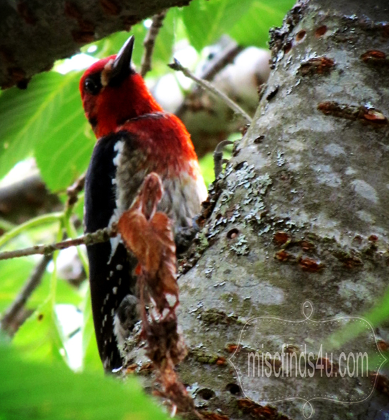 Seattle Red-headed Woodpecker