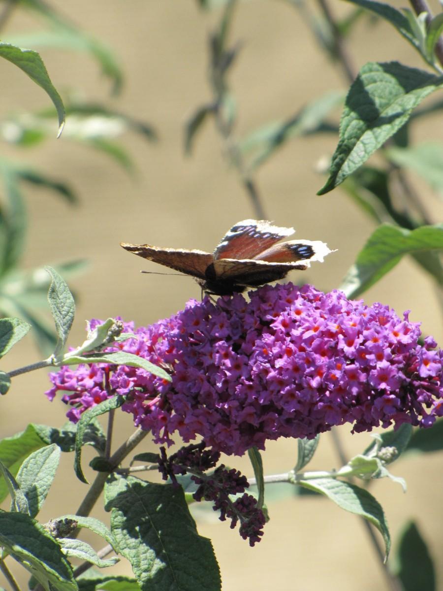 Butterfly Bush doing its job attracting butterflies