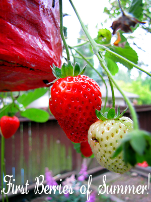 First Strawberries of the season - Topsy Turvy Update