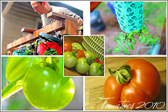 Fall Tomato Harvest is Dismal After Cold and Rainy Seattle Summer