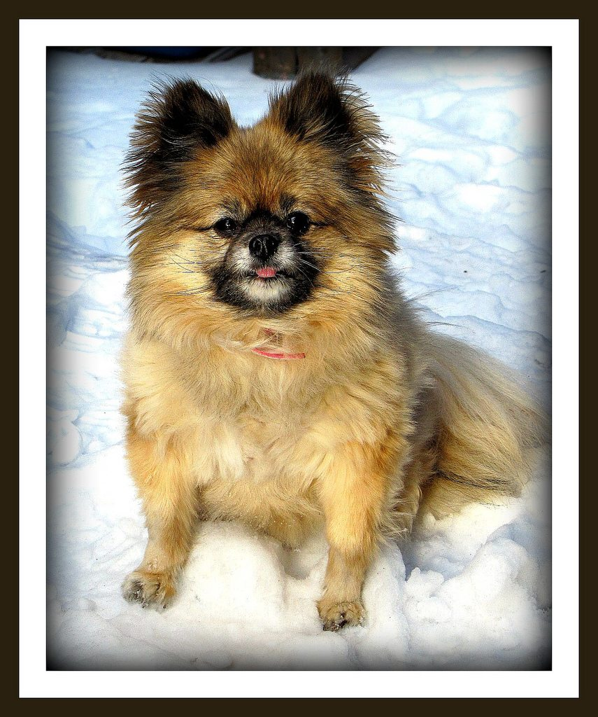 Jewel Our Pomeranian Enjoying the Snow