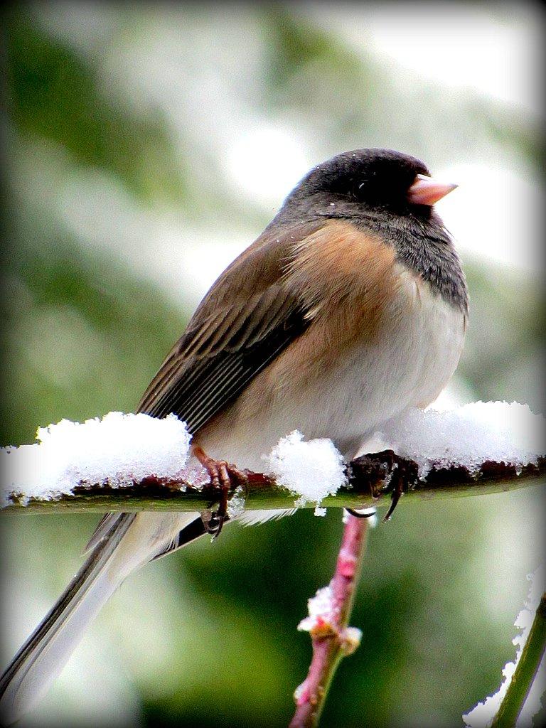 Bird in snow near Seattle Washington 2/23/2011