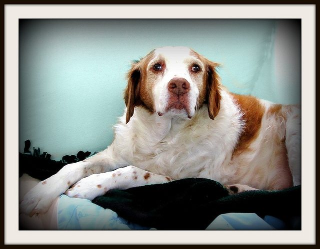 Blaze  named for his forefather, Blaze's Bean - our elderly Brittany
