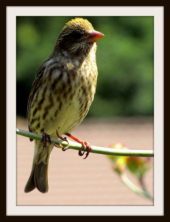 Female Purple Finch near Seattle, WA