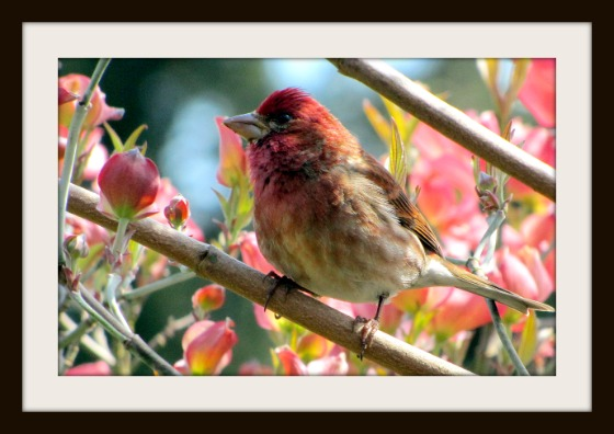 Male Purple Finch, Renton, WA