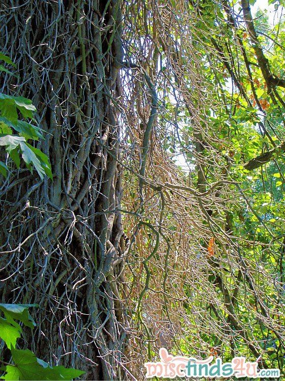 Trees along the Cedar River Trail - Renton Washington