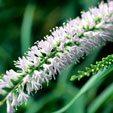 Koromiko Flower