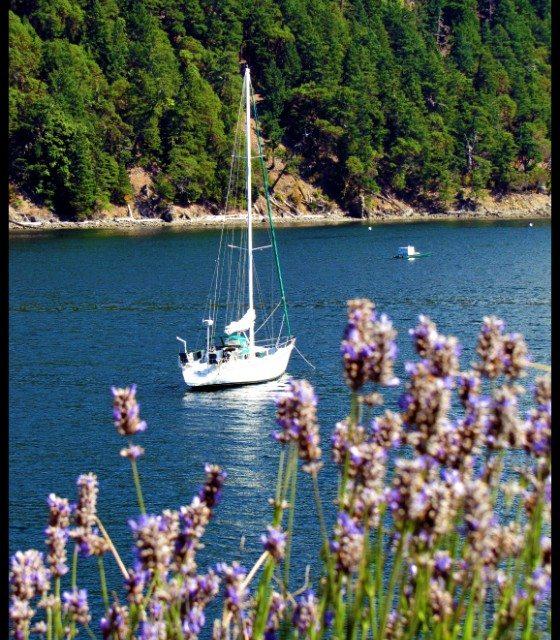 Photo of the Day:  Sailboats and Lavender at Rosario Resort