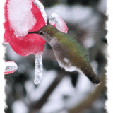Humming Bird feeds during snow and ice storm in Seattle January 2012