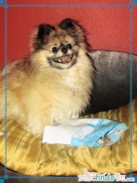 Our neurotic Pomeranian, Jewel, with stolen goods