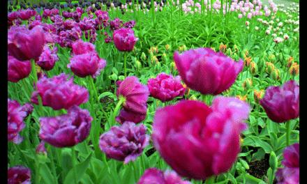 Travel Photography: Amsterdam Tulip Landscape