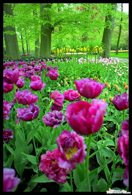 Vibrant pink tulips in forest - Amsterdam May 2012 - B. Ott Photographer