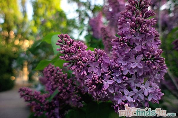 Lilacs in Bloom Warsaw, Poland May 2012 - photographer B. Ott