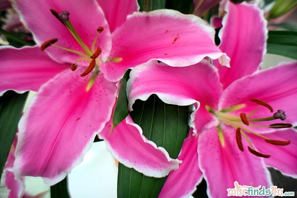Pink Lillies in Amsterdam