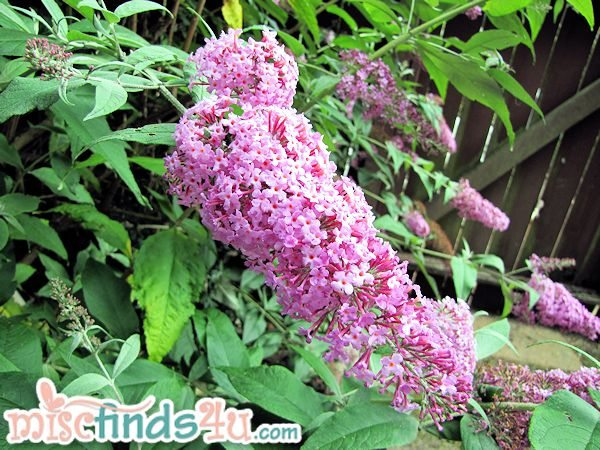 My garden smells amazing thanks to my enormous Butterfly Bush