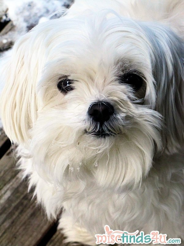 Gracie, our teacup Maltese - she's about 5 lbs