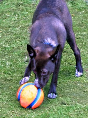 Roo enjoying his new ball - Petmate Chuckit! Fetch Games Kick Fetch  - Gifts for Dogs - ad