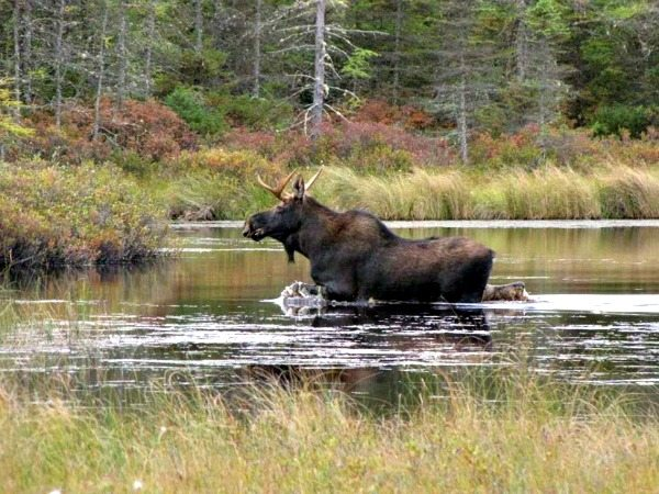 A moose splashes its way across the water at Silvio O. Conte National Wildlife Refuge in New England. (USFWS