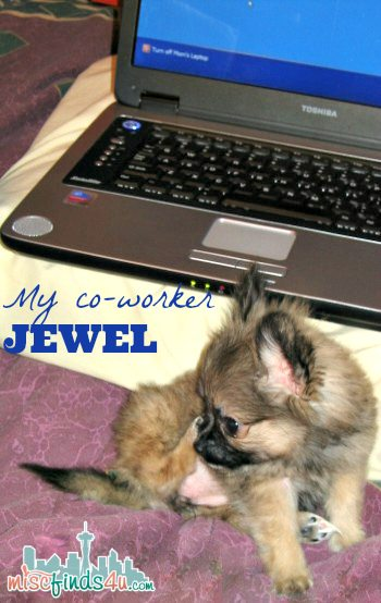 Teacup Pomeranian Puppy - Jewel - healthy dog food ad #checkyourbag #naturaldogfood #lovemydog