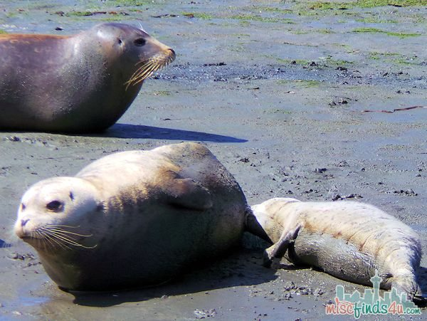 ELKHORN SLOUGH SAFARI GUIDED NATURE BOAT TOUR - nursing seal pup and mom