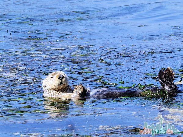 ELKHORN SLOUGH SAFARI GUIDED NATURE BOAT TOUR - otter eating