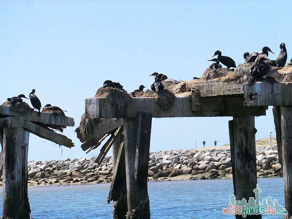ELKHORN SLOUGH SAFARI GUIDED NATURE BOAT TOUR - pier birds