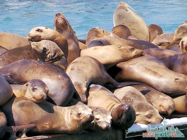 ELKHORN SLOUGH SAFARI GUIDED NATURE BOAT TOUR - pile of Sea Lions