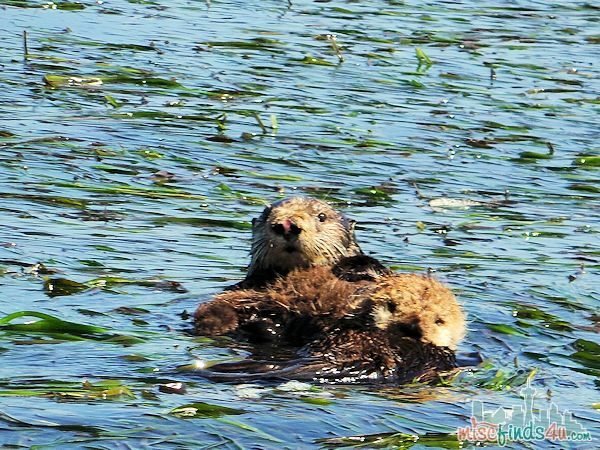 ELKHORN SLOUGH SAFARI GUIDED NATURE BOAT TOUR - sea otter mom and baby