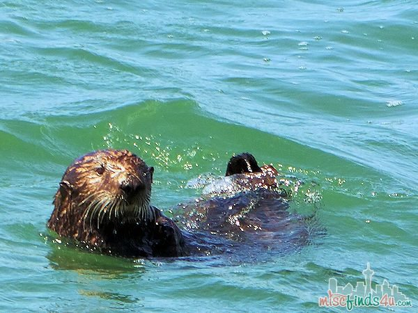 ELKHORN SLOUGH SAFARI GUIDED NATURE BOAT TOUR - sea otter swimming