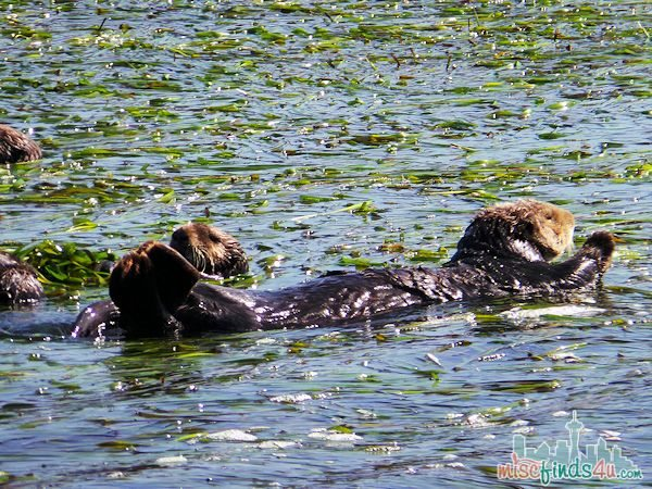 ELKHORN SLOUGH SAFARI GUIDED NATURE BOAT TOUR - sea otters