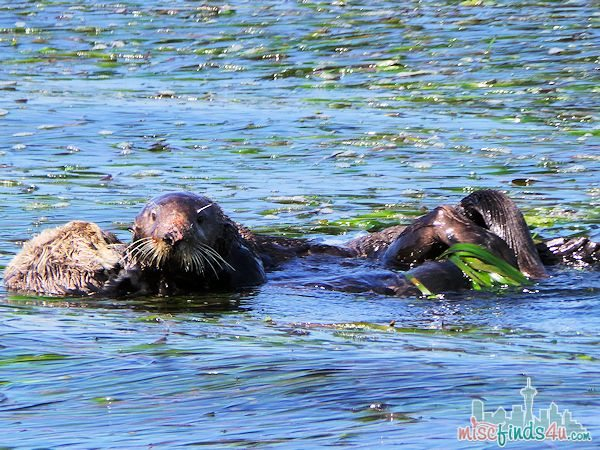 ELKHORN SLOUGH SAFARI GUIDED NATURE BOAT TOUR - sea otters mating