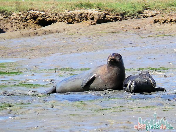 ELKHORN SLOUGH SAFARI GUIDED NATURE BOAT TOUR - seal and pup