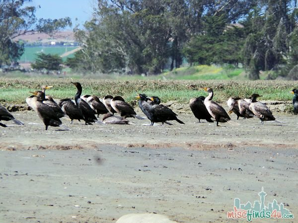 ELKHORN SLOUGH SAFARI GUIDED NATURE BOAT TOUR - shore birds