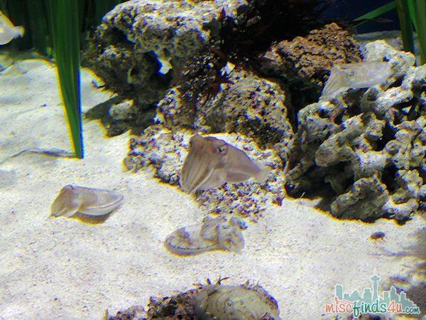 Monterey Aquarium Tentacles Exhibit - Cuttlefish