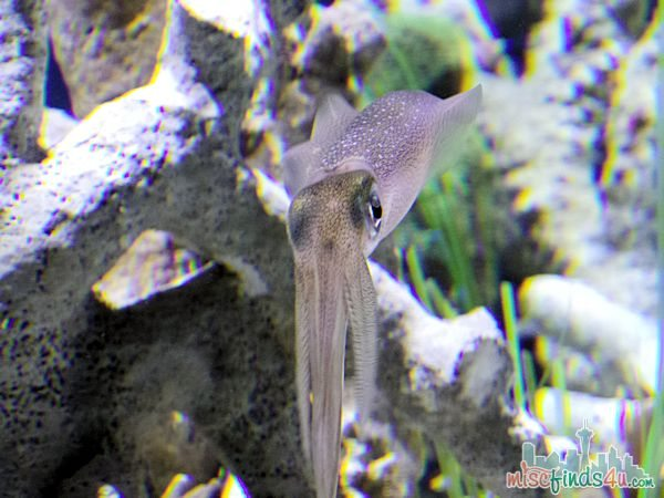 Monterey Aquarium Tentacles Exhibit - Cuttlefush