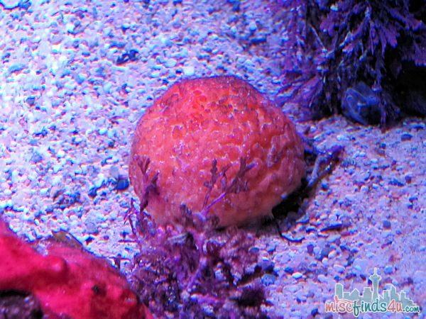 Monterey Aquarium Tentacles Exhibit - Red Octopus