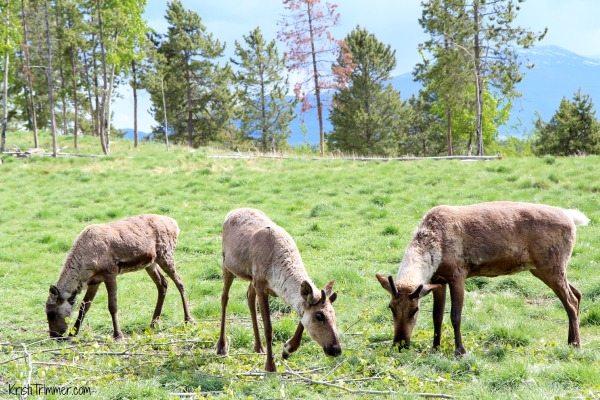 Alaska - Caribou