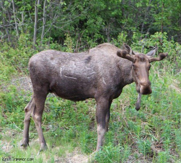 Alaska - Moose