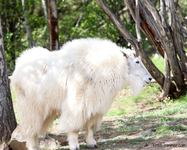 Alaska - Mountain Goat
