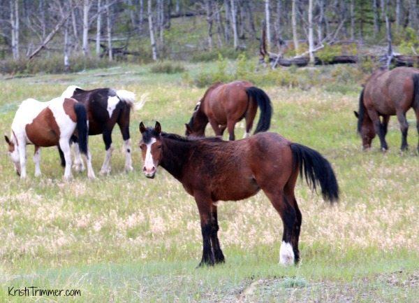 Alaska - Wild Horses