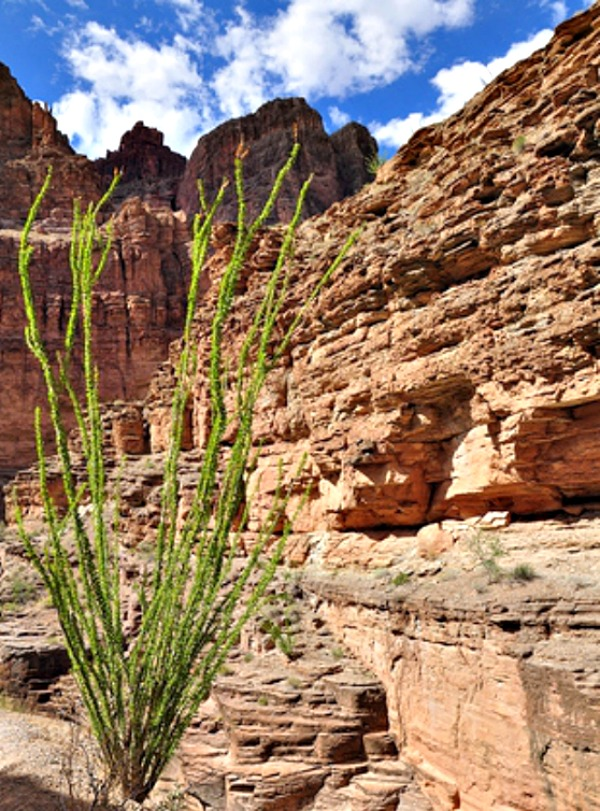 Palo Verde at Grand Canyon - Arizona Travel Vacation and Recreation Tips #Travel