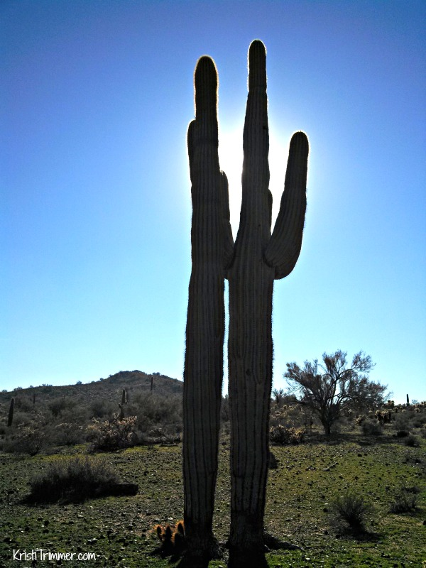 Saguaro Cactus in Sunlight - Arizona Travel Vacation and Recreation Tips #Travel