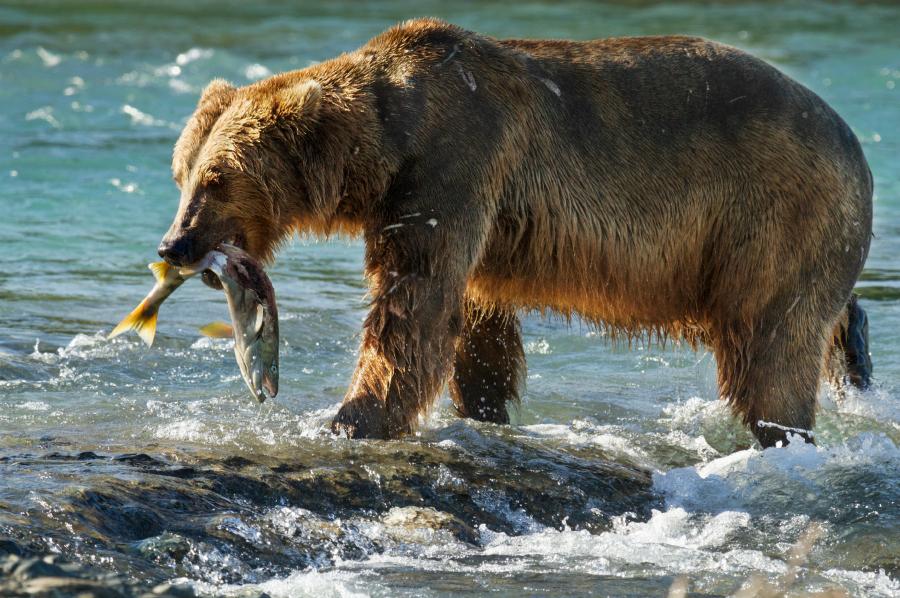 Chinook - Disneynature BEARS  ©Disneynature ©Disney