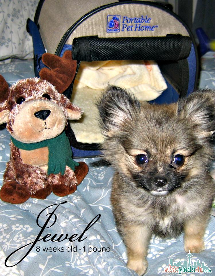 My Pomeranian - 8 weeks 1 pound