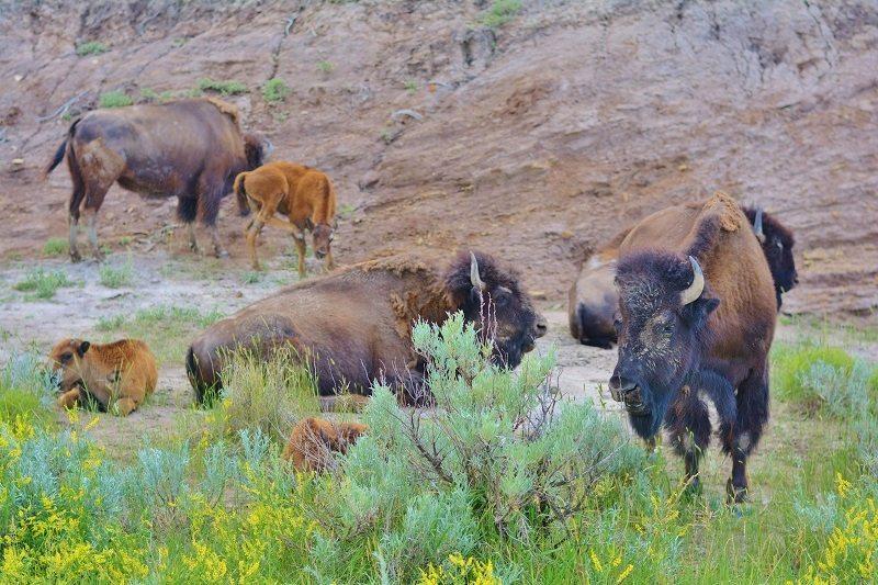 Travel North Dakota - Bison #Travel