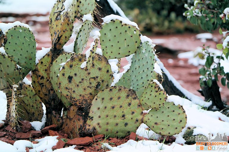Sedona Airport Mesa Vortex - prickly pear cactus in snow