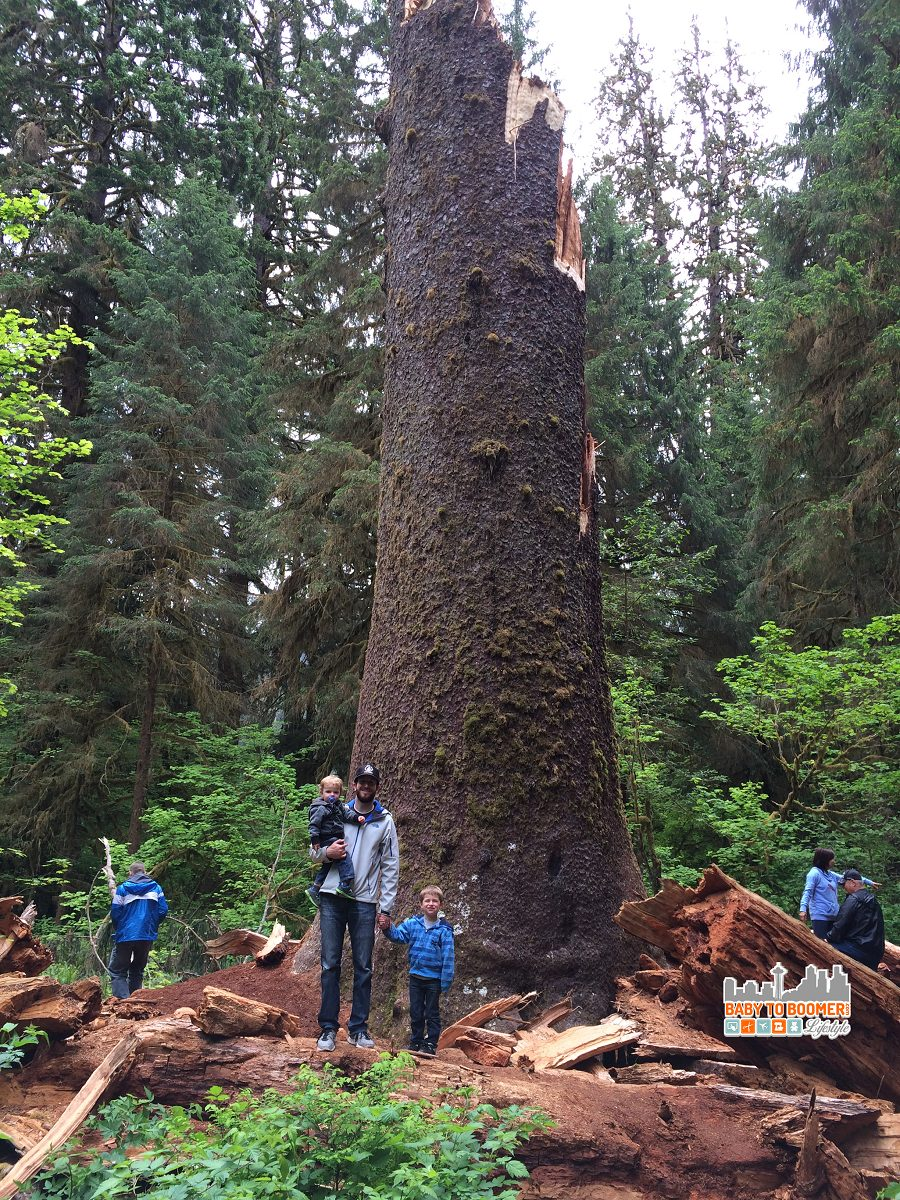 Giant Spruce Tree in the Olympic National Forest