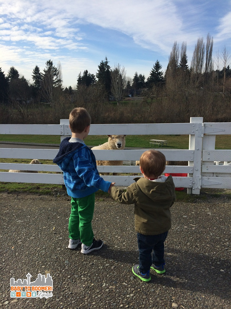 Kid Friendly Seattle: A Visit to Kelsey Creek Farm - Face to face with Kelsey Creek sheep