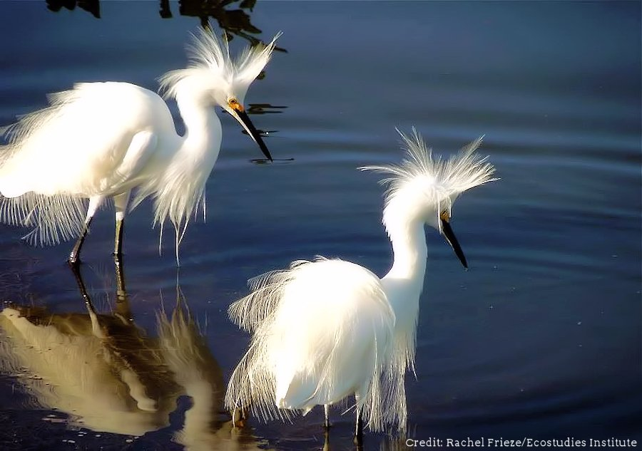 U.S. Fish and Wildlife Service  -  Snowy Egrets show off their gorgeous breeding plumage as they feud over feeding territories - and perhaps over mates as well - in this photo taken at J.N. Ding Darling National Wildlife Refuge in FL and posted on March 1, 2012. Photo Credit: Rachel Frieze/Ecostudies Institute Summer Travel Ideas: Four Great National Park and Wildlife Refuge Travel Pairings