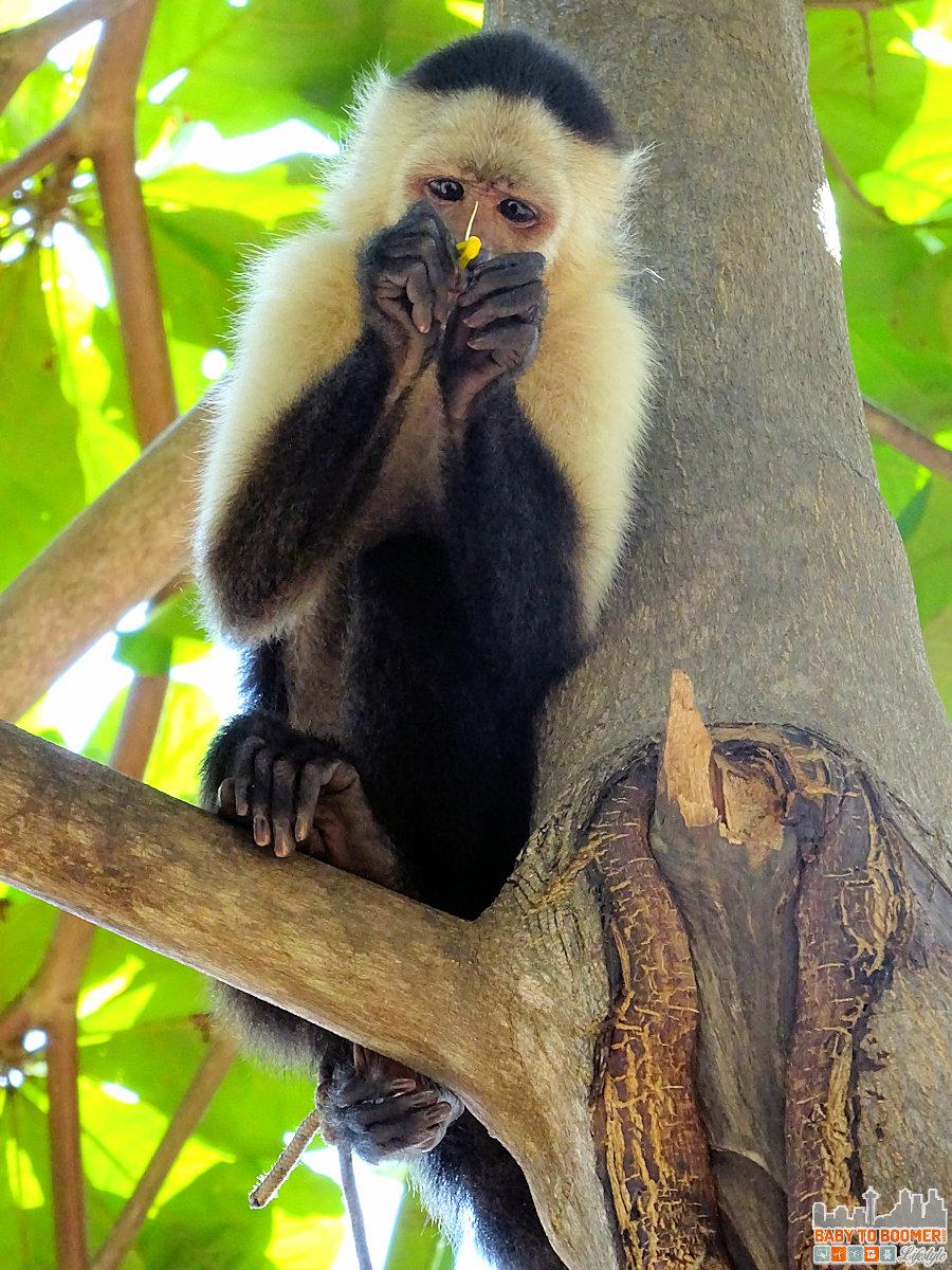 Isla Canas - Hostal Pachamama Panama - Monkey